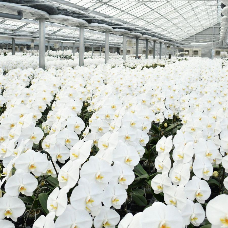 胡蝶蘭の農場